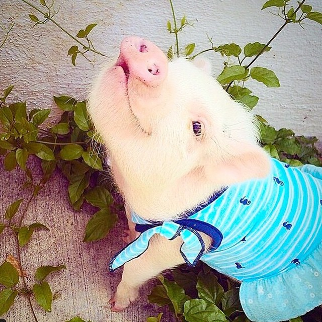 hamlet-piggy-ctute-animals-mini-pig-25