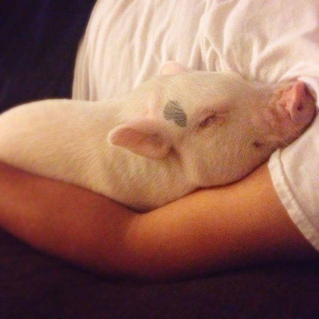 hamlet-piggy-ctute-animals-mini-pig-33