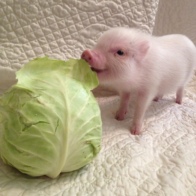 hamlet-piggy-ctute-animals-mini-pig-47
