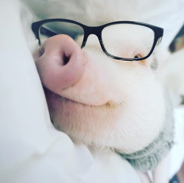 hamlet-piggy-ctute-animals-mini-pig-8
