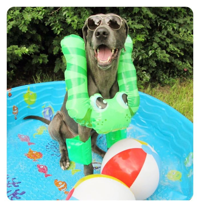 Gabe The Great Dane Loves His Pool!