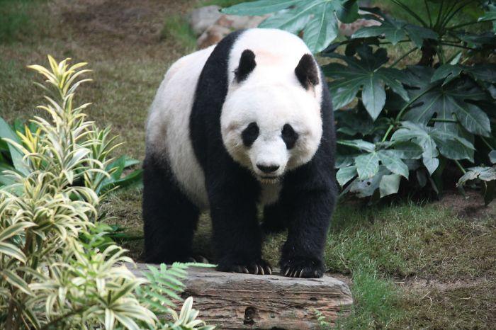 An Actual Panda