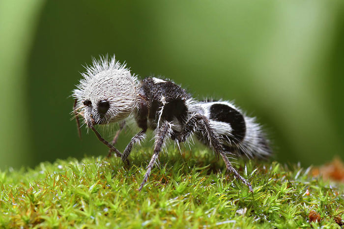 "This Cute Panda-Ant Is Actually A ""Cow Killer"" Wasp"