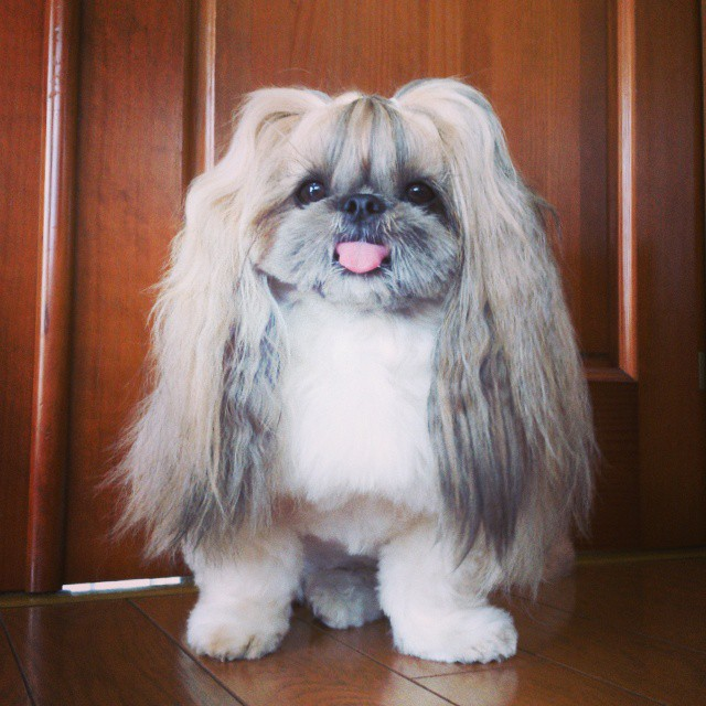 pekingese-dog-hairstyles-kuma-13