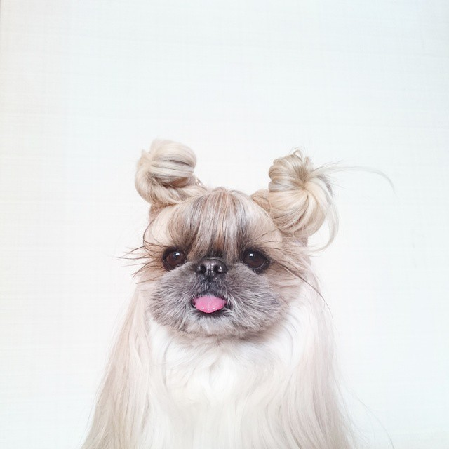 pekingese-dog-hairstyles-kuma-22