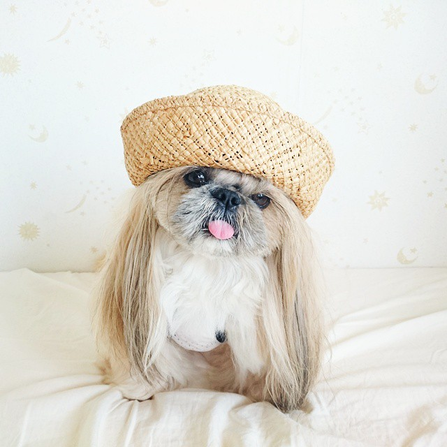 pekingese-dog-hairstyles-kuma-33