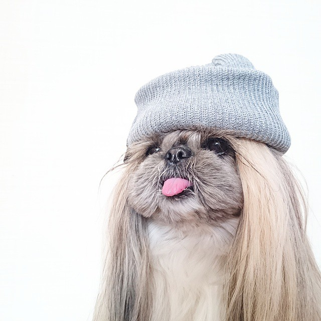 pekingese-dog-hairstyles-kuma-37