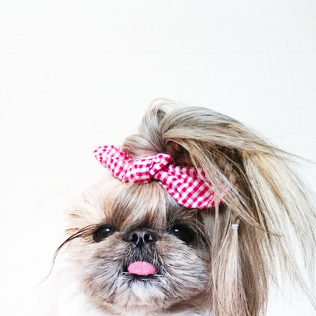 pekingese-dog-hairstyles-kuma-39