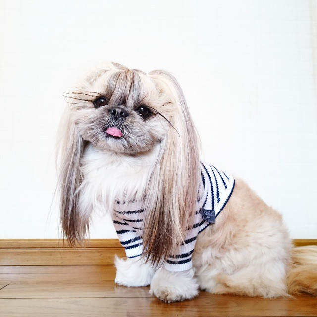 pekingese-dog-hairstyles-kuma-44