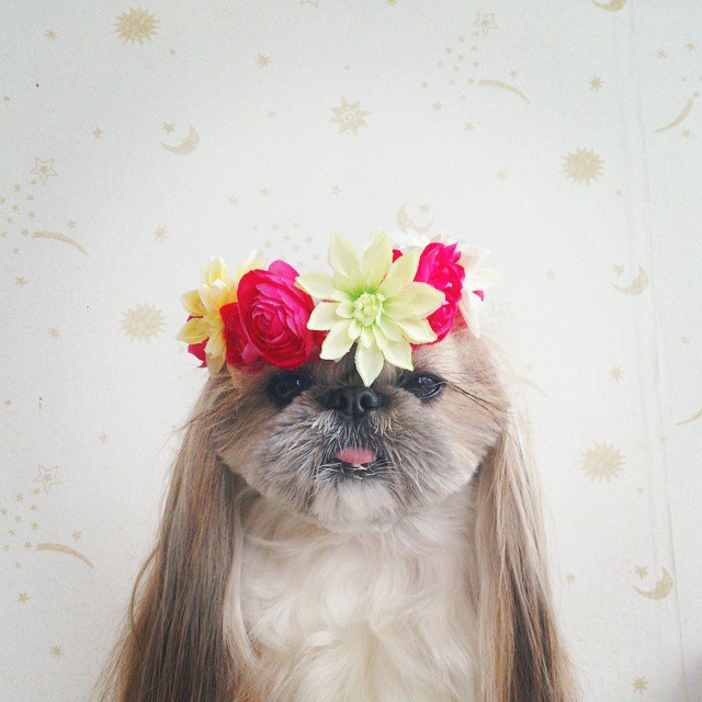 pekingese-dog-hairstyles-kuma-6