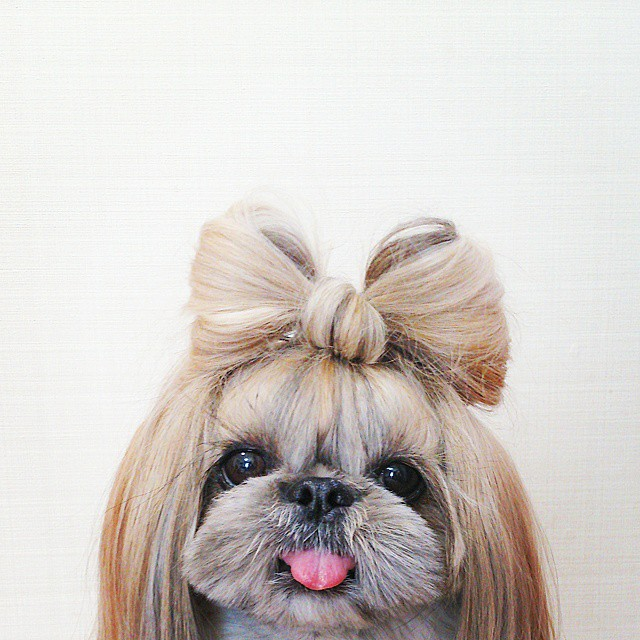 pekingese-dog-hairstyles-kuma-8