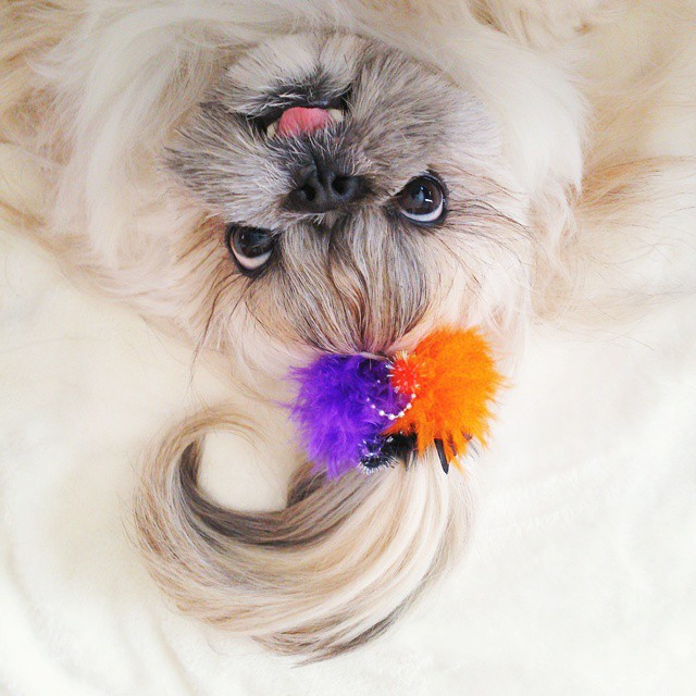 pekingese-dog-hairstyles-kuma-9