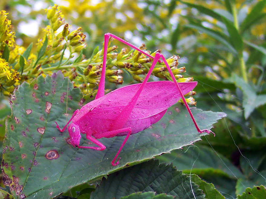 Pink Katydids Are The Result Of A Rare Genetic Mutation