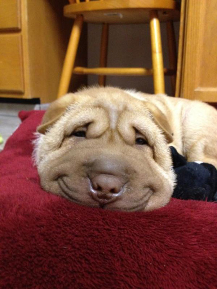 post the happiest dogs who show the best smiles 25 pics