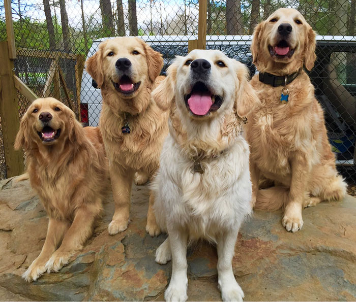Happy Goldens