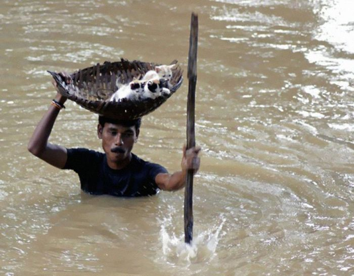 During Massive Floods In Cuttack City, India, In 2011, A Heroic Villager Saved Numerous Stray Cats By Carrying Them With A Basket Balanced On His Head.