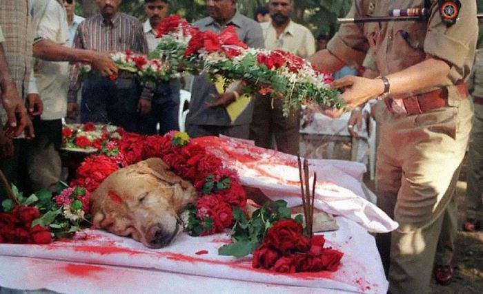 Zanjeer The Dog Saved Thousands Of Lives During Mumbai Serial Blasts In March 1993 By Detecting More Than 3,329 Kgs Of The Explosive Rdx, 600 Detonators, 249 Hand Grenades And 6406 Rounds Of Live Ammunition. He Was Buried With Full Honors In 2000.