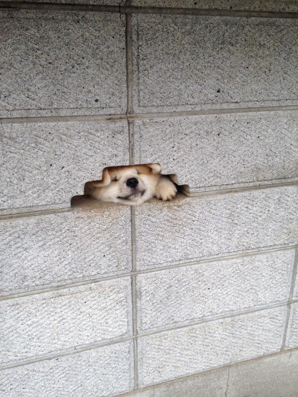 shiba-inu-dog-say-hello-1