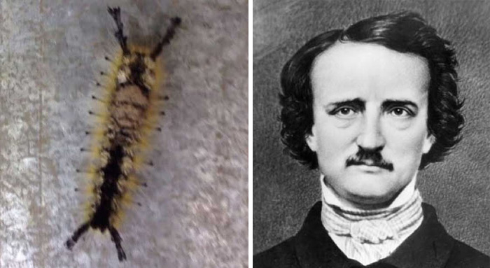 Face Of Edgar Allan Poe Appears On A Caterpillar