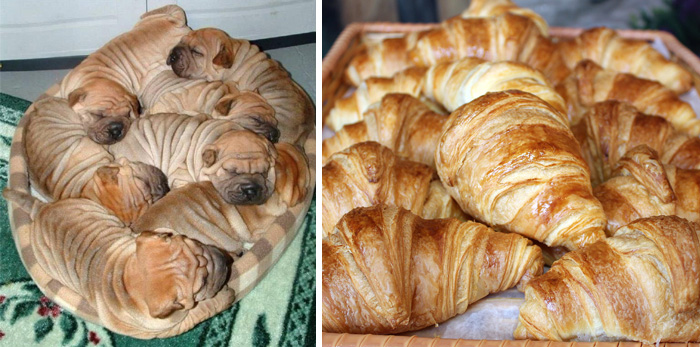 These Shar-Pei Puppies Look Like French Croissants