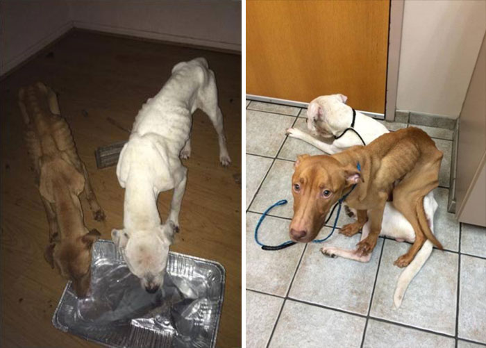 two-starving-dogs-transform-rescued-trio-animal-foundation-chicago-10