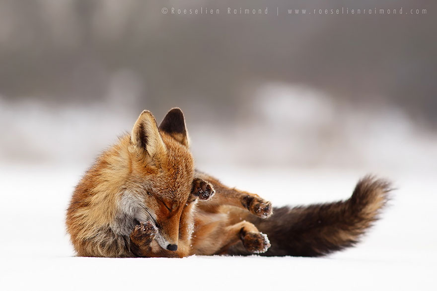 zen foxes photographer documents wild foxes enjoying
