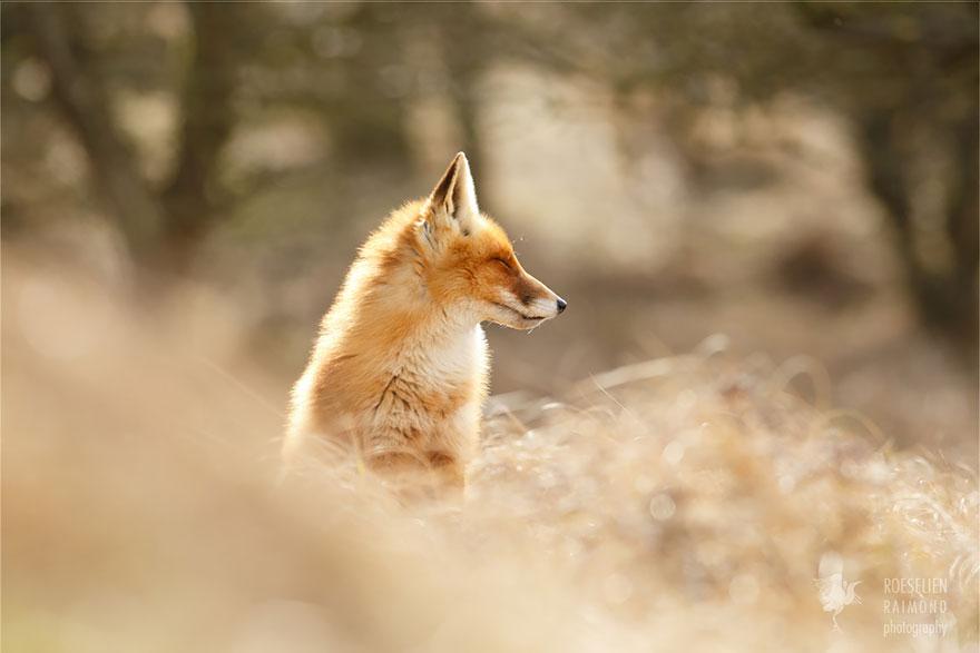 Zen Foxes: Photographer Documents Wild Foxes Enjoying Themselves