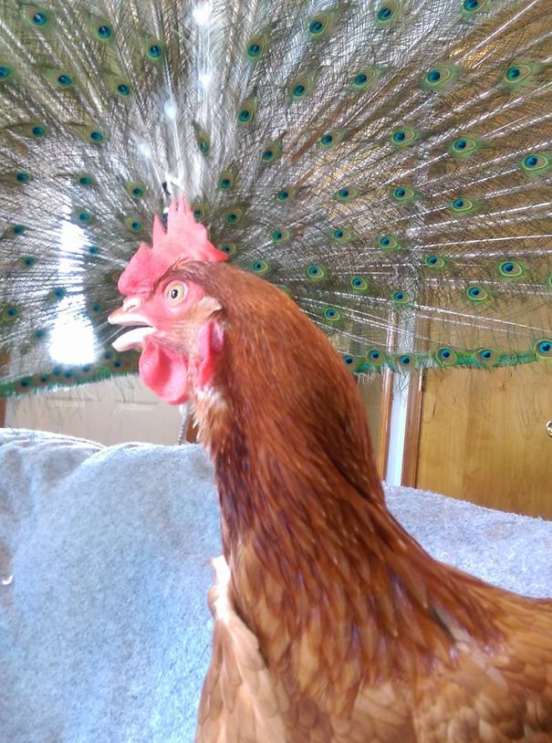 An Impostor Perfectly Timed Chicken :-)