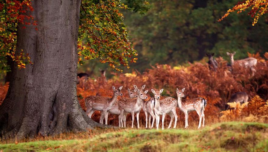 Deers In Autumn