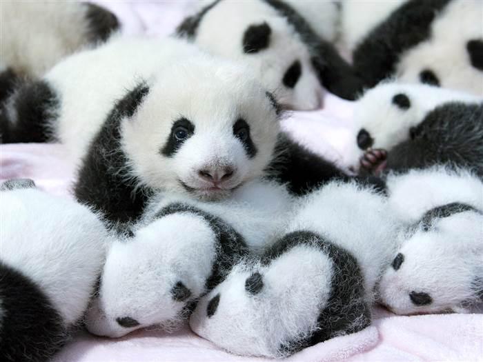 Baby Pandas :d