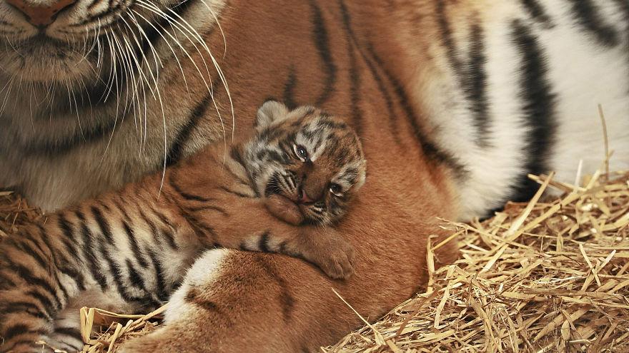 Baby Tiger Cub | Bored Panda