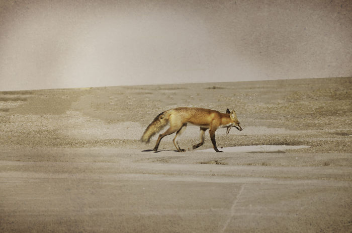 Meet Jack The Fox