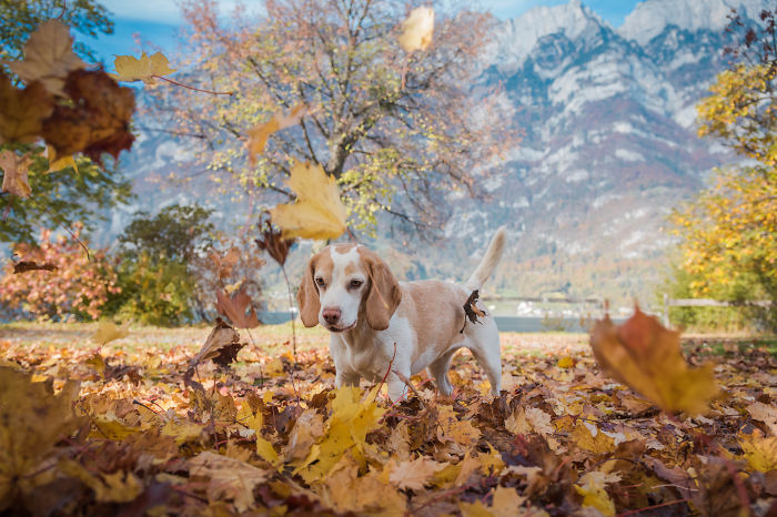I Photographed My Beagle Playing With Autumn Leaves