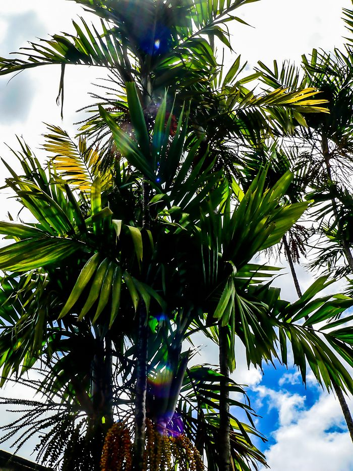 Light Shining Through Palm Tree