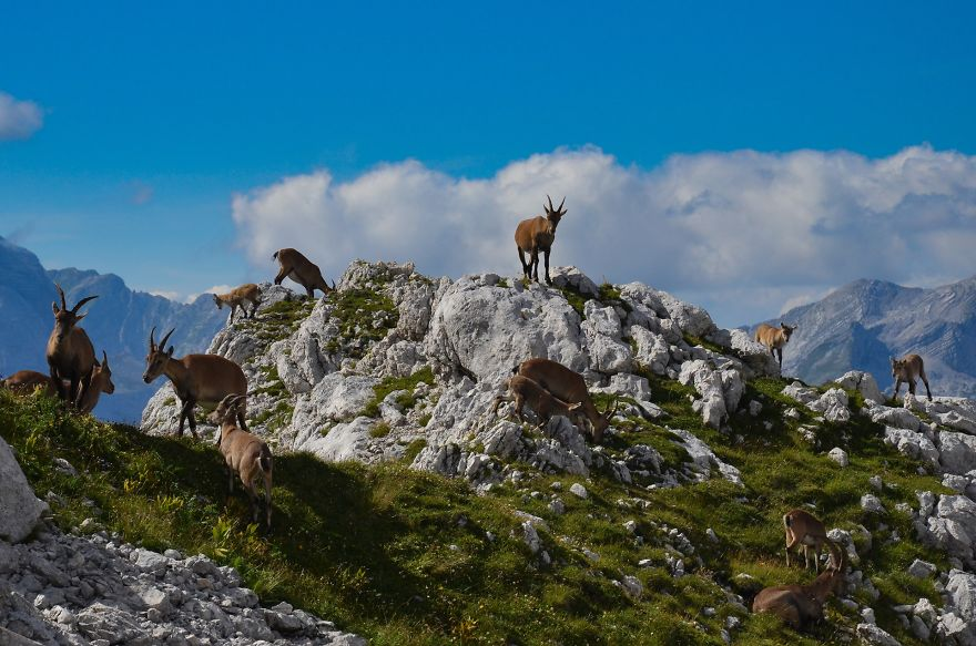 Herd of young ibexes