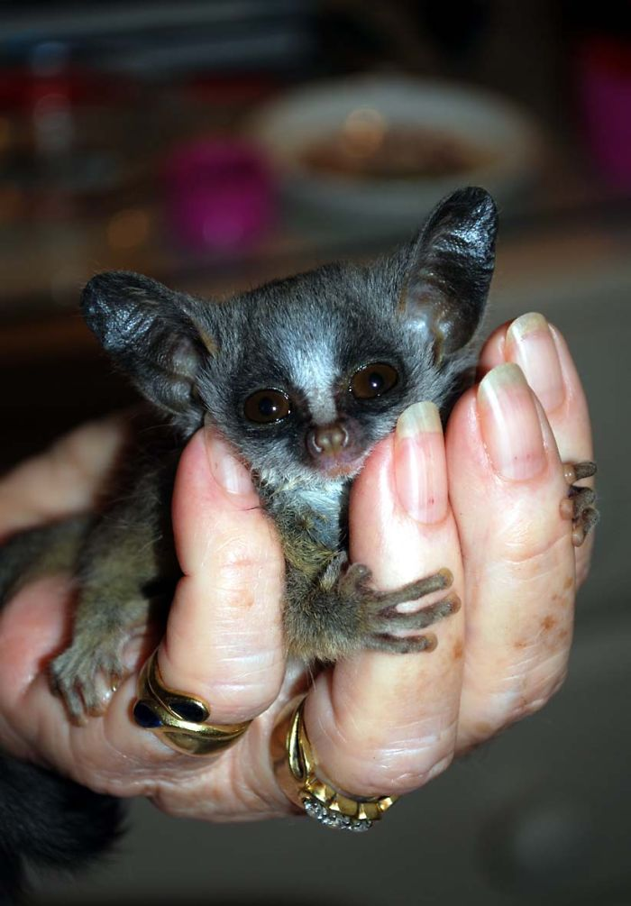 Baby Nagape (night Ape) Or Bushbaby