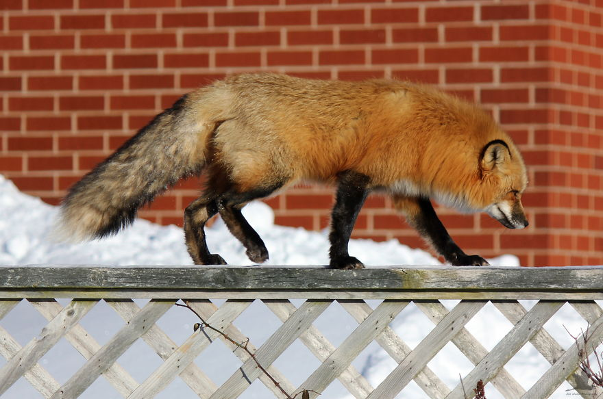 3 Foxes Decided To Live In My Backyard During Winter ...