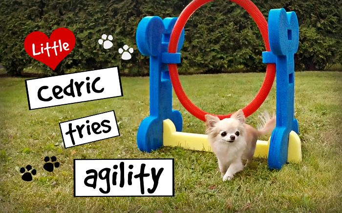 Cutest Puppy Sized Chihuahua Cedric Tries Small Dog Agility