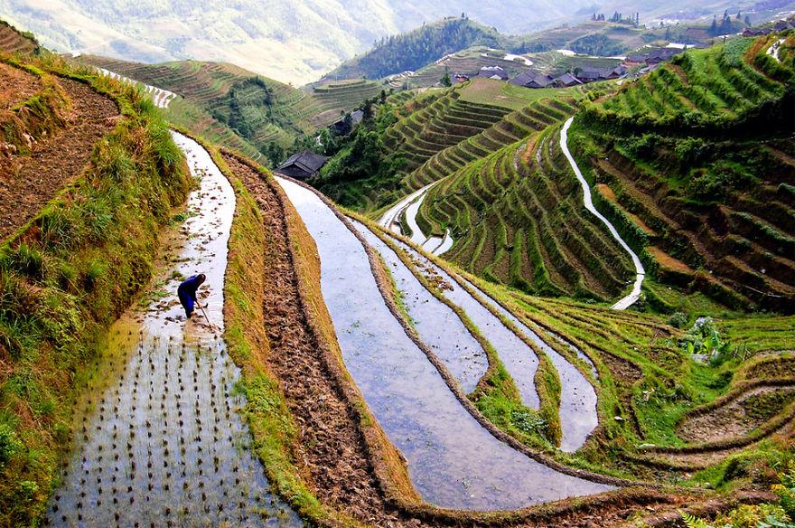 Field Worker At Rice Fields