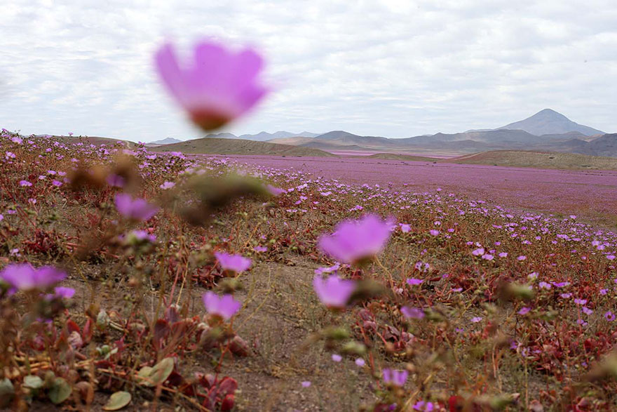 atacama-flowers-bloom-worlds-driest-desert-11