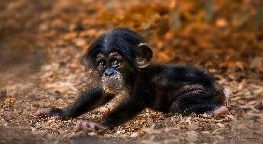 Baby Chimpanzee Having Fun