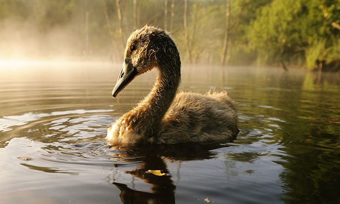 The True Story Of An Ugly Duckling Who Was Abandoned By Its Parents And Adopted By Ducks