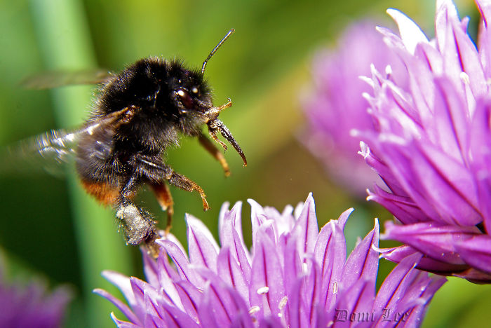 Bumblebees Around Us
