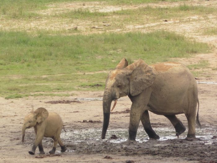 Baby Elephant In Central African Republic, July 2015
