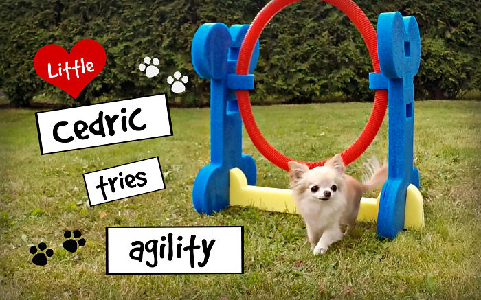 Cute Puppy Sized Chihuahua Tries Agility