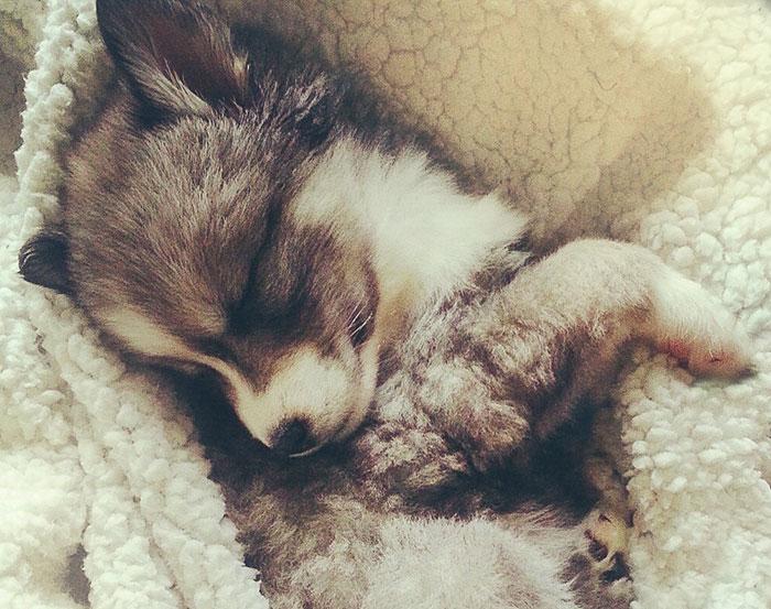 Cuddly Husky Puppy