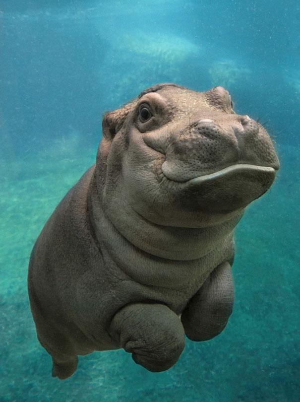 San Diego Zoo's Baby Hippo