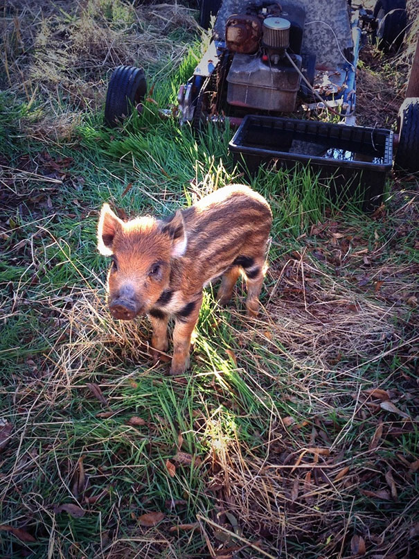 Boar Piglet
