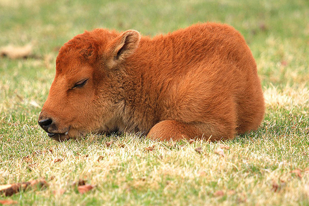 Sleepy baby buffalo bored panda