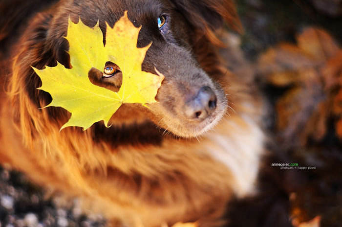 Dog Playing With Autumn Leaves